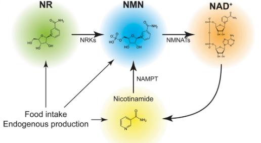 NMN是什么?为何这么神奇?NMN有哪些作用功效?NMN的适用人群有哪些?插图