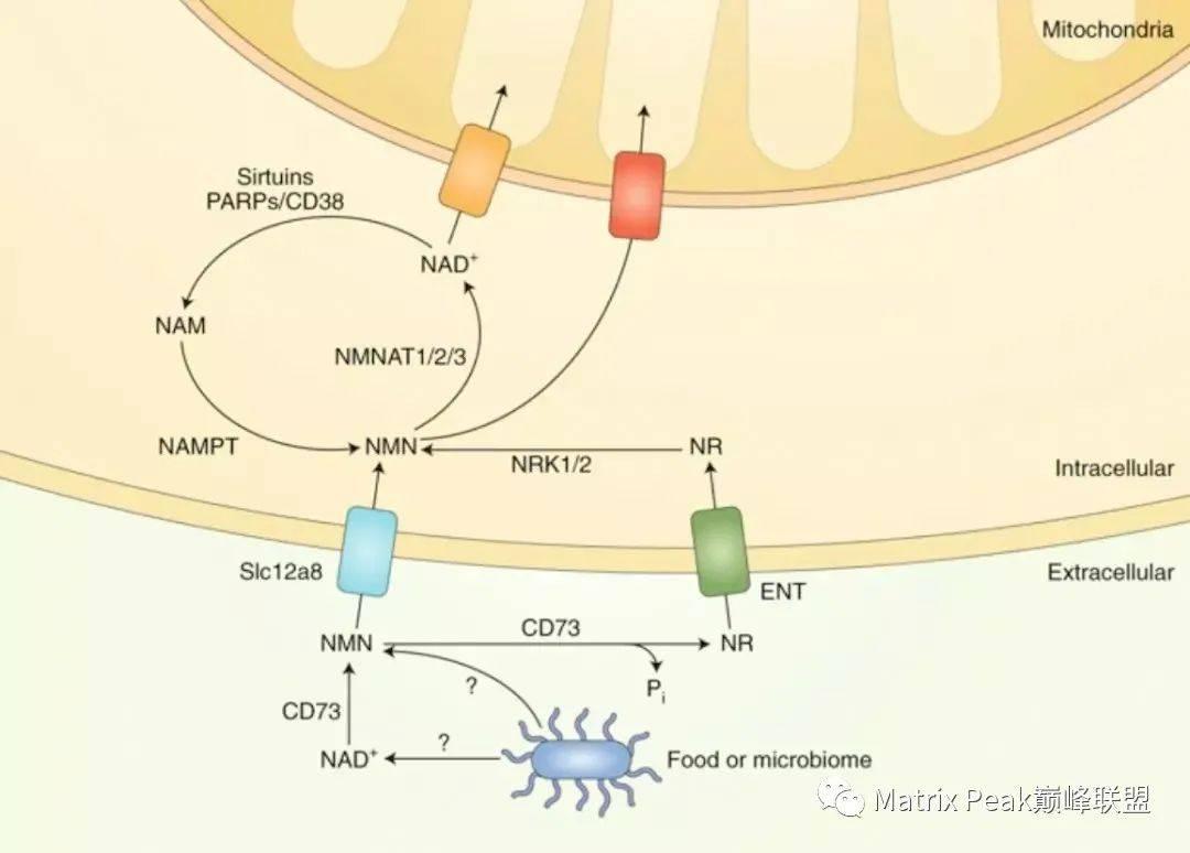 关于NMN与NR,是如何作用于人体的!插图