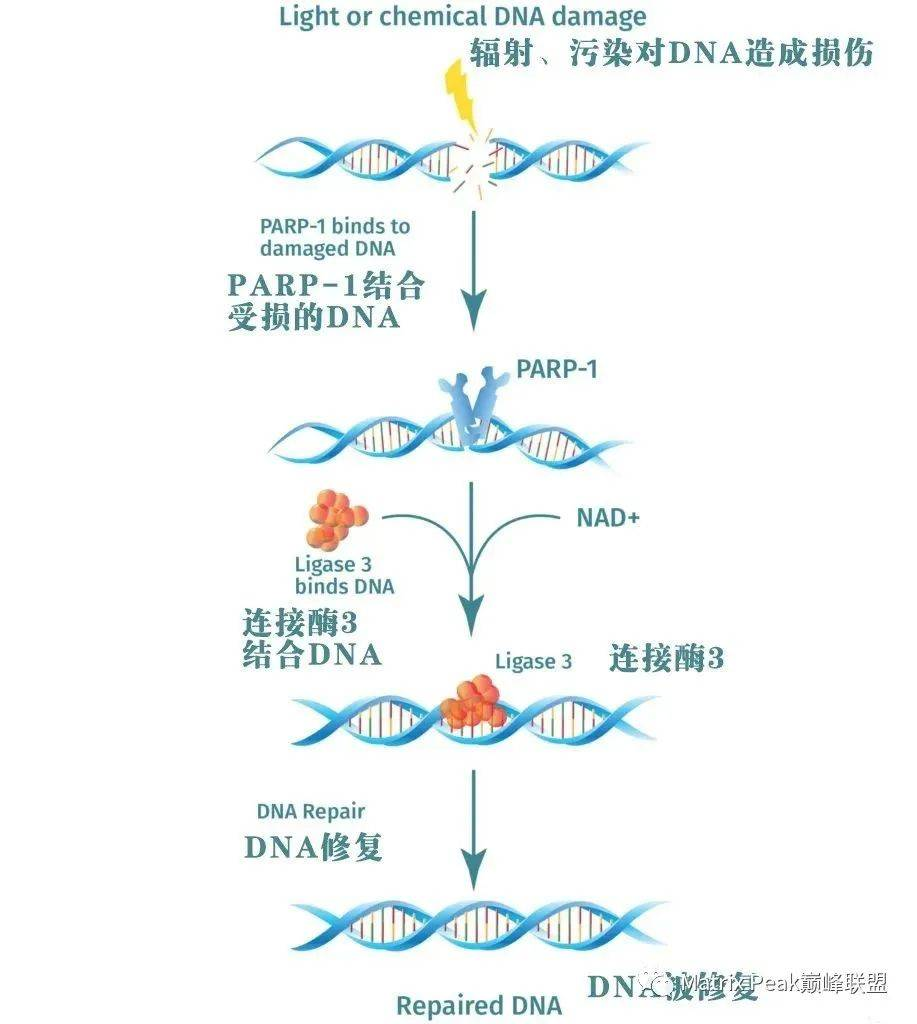 什么是NMN?插图1