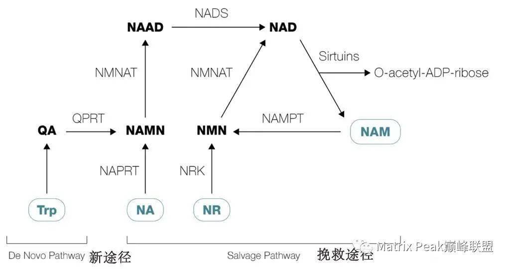 NMN、NR和NAD+之间的差异与关联!插图2