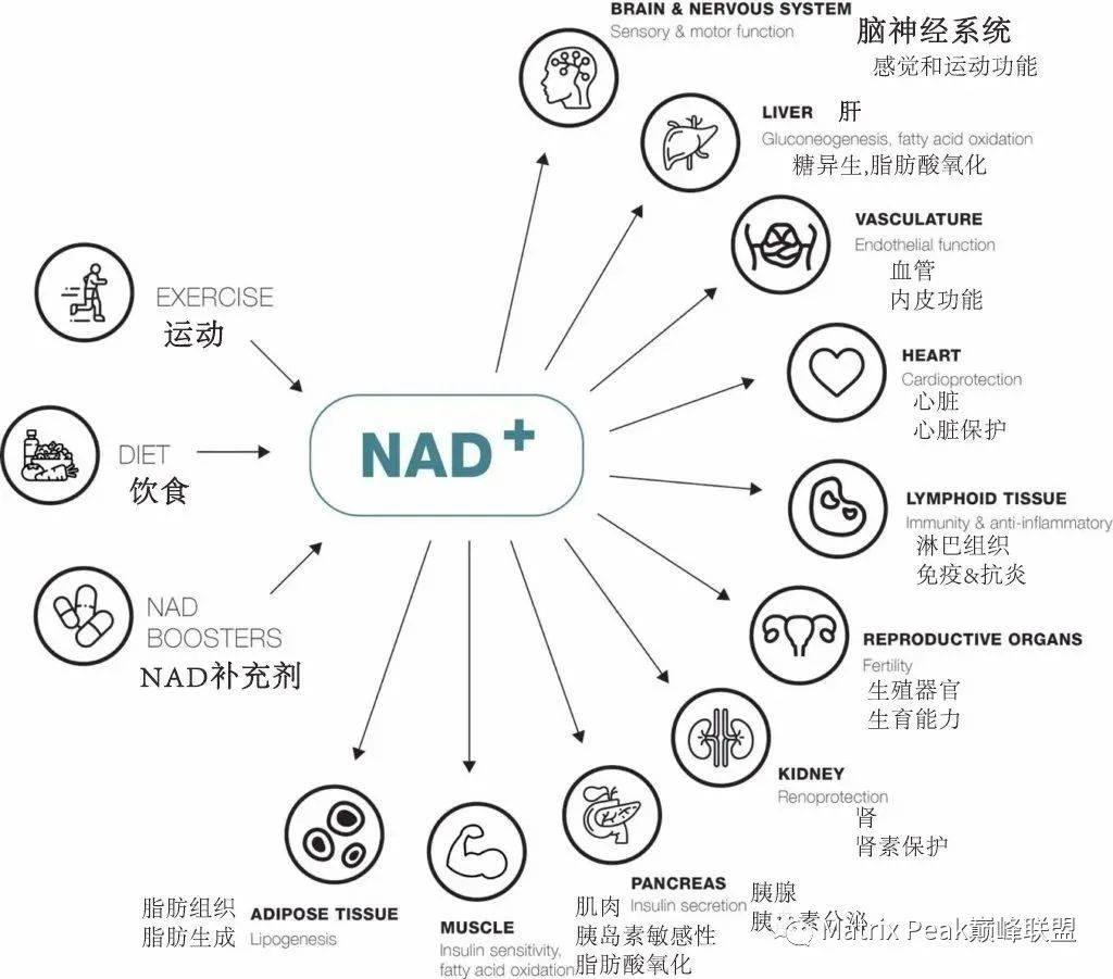 NMN与NR:这两种NAD+前体之间的差异插图1