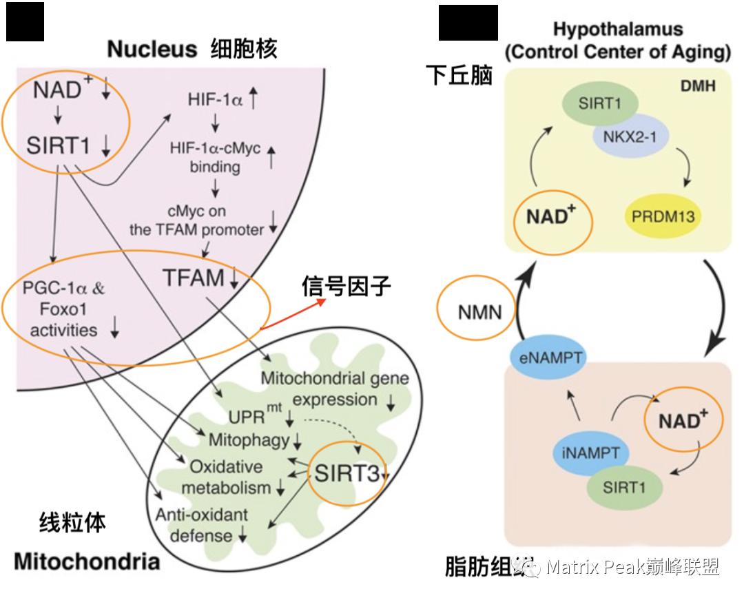 NMN 与长寿蛋白Sirtuin的关系!插图2